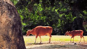 Banteng Cow & Calf Royalty Free Stock Photo