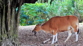Banteng Cow Eating Royalty Free Stock Images