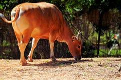 Banteng cow Stock Photography