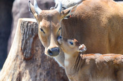 Banteng cuddle Royalty Free Stock Photography