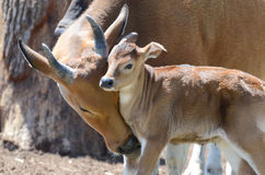 Banteng cuddle2 Royalty Free Stock Images