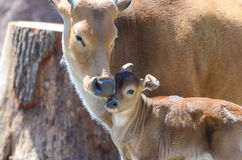 Banteng cuddle3 Royalty Free Stock Images