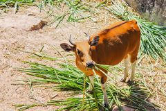 Banteng eating grass are a species of wild cattle have a distinctive character. royalty free stock photography