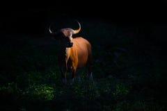 Banteng fêmea (javanicus do Bos Imagens de Stock Royalty Free