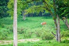 Banteng Stock Photography