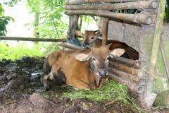 Banteng har tämjts i flera ställen i South East Asia Royaltyfria Foton