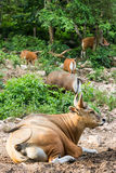 Banteng herd (Bos javanicus) Royalty Free Stock Images