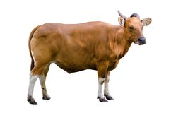 Banteng Isolate cow side Bibos banting royalty free stock photo