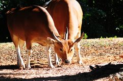 Banteng-Kühe Lizenzfreie Stockfotos