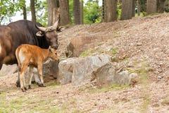 Banteng ko och hennes kalv arkivfoto