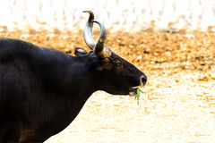 Banteng. The male Banteng feeding in Africa Royalty Free Stock Photos