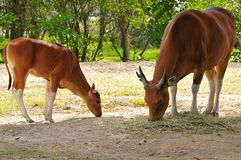Banteng mother & calf Stock Photos