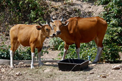 Banteng Mother With Its Calf Standing On the Ground Royalty Free Stock Images
