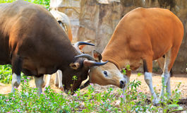 Banteng Or Red Bull Royalty Free Stock Photography