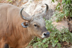Banteng or Red Bull Stock Images