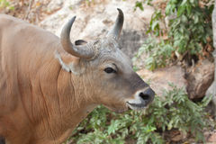 Banteng or Red Bull Stock Photo