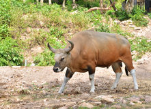 Banteng or Red Bull Stock Photography