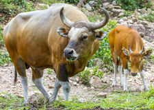 Banteng or Red Bull Royalty Free Stock Photos