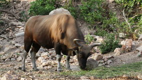 Banteng or Red Bull, male standing and eat grass in the forest, in HD stock video footage