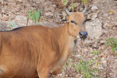 Banteng or Red Bull in the park Stock Photography