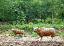 Banteng, red bull Royalty Free Stock Photos