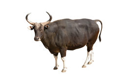 Banteng. The strong male banteng in thailand, isolated Stock Photography