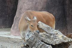 Banteng with tree Stock Photo