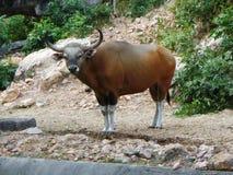Banteng w Khao Kaeo Otwartym zoo Zdjęcia Royalty Free