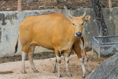 Banteng  wild cattle Royalty Free Stock Photos
