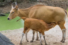 Banteng - wild cattle Royalty Free Stock Images
