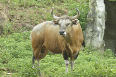 Banteng wild ox. With blur background Royalty Free Stock Photos