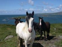 Bantry Bay Horses. Wild horses on the hills around Bantry Bay, Southern Ireland Stock Image