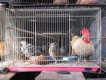 Bantum和未认出的鸟在笼子贸易的 库存图片