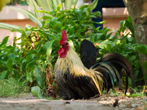 Bantum. Bantam walk on the grass in my house royalty free stock images