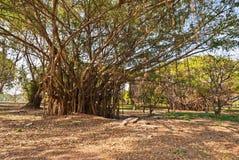 banyan δέντρο Στοκ Φωτογραφίες