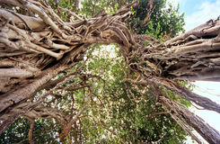Banyan. Tree in Reunion Island, surviving of primary forest Royalty Free Stock Photo