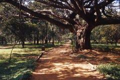 Banyan al lado del camino imágenes de archivo libres de regalías