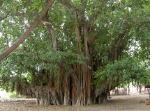 Banyan ancien boom Royalty-vrije Stock Foto
