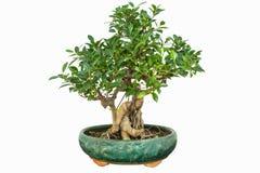 Banyan bonsai Fotografia Royalty Free