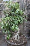 Banyan bonsai stock photos