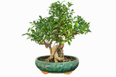 Banyan bonsai Royalty Free Stock Photography