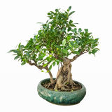 Banyan bonsai tree Stock Photo