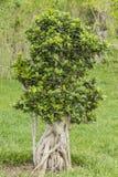 Banyan Royalty Free Stock Photo