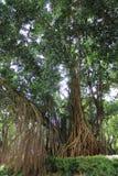 Banyan con sol Fotografía de archivo libre de regalías