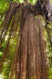 Banyan della radice Fotografia Stock