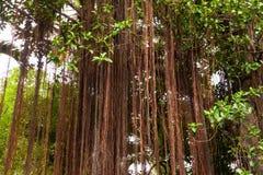 Banyan della radice Immagini Stock
