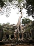 Banyan drzewa dorośnięcie na górze świątyni Ta Prohm - żadny ogrodzenie Obrazy Stock