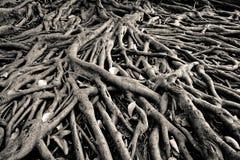 Banyan drzewa korzeń zdjęcia royalty free