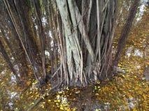 Banyan drzewa korzeń Fotografia Stock