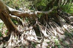 Banyan drzewa korzenie, adobe rgb Obrazy Stock